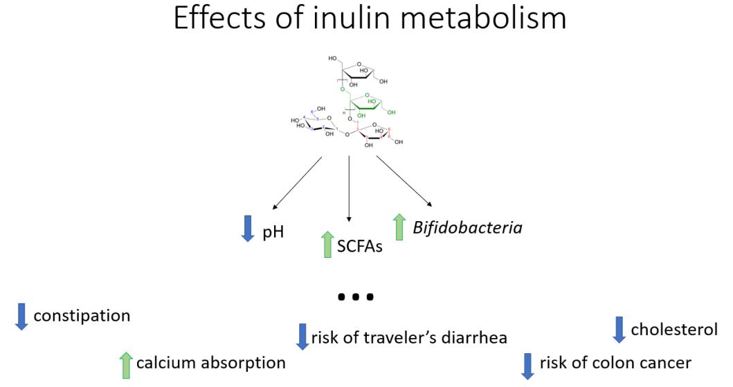 inulin metabolism