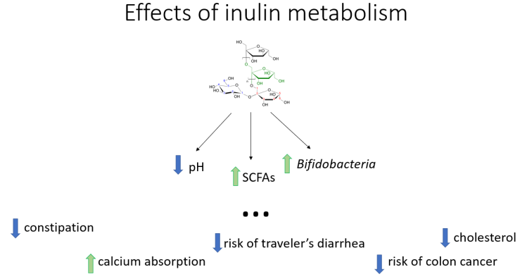 inulin metabolism